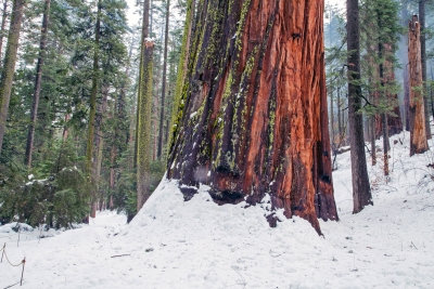 Giant Sequoia Snowed In