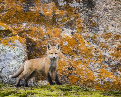 Fox On Moss Rocks
