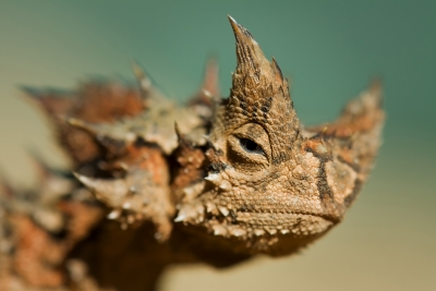 Thoughtful Thorny Devil