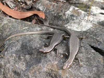 Skinks Catching Some Sun