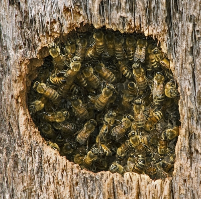 Bees Colony In Cavity Of Palm Tree