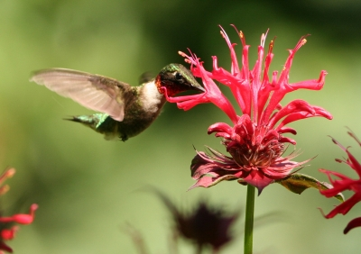 Ruby-throated Hummingbird At Bee-balm