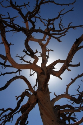 Gnarled Tree – Hidden Valley, Joshua Tree