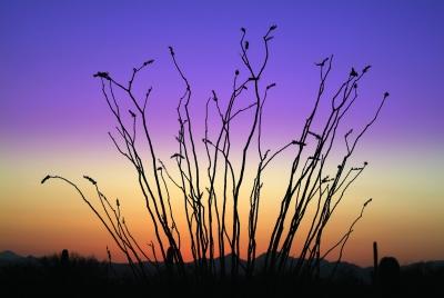 Ocotillo And Alpenglow