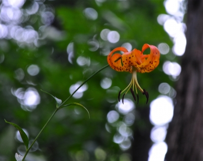 Forest Lilly
