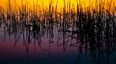 Lake Reeds At Sunset