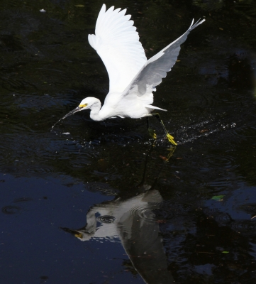 Snowy Egret In Action
