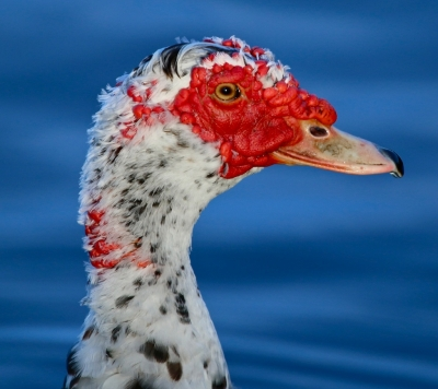 Muscovy Duck With Blue Background