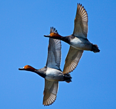 Redhad Duck Formation Fly By