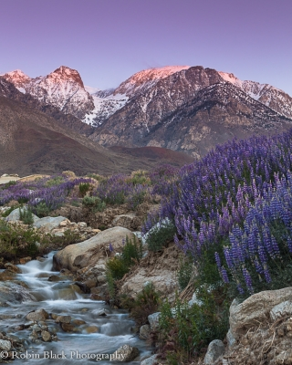 Lupine On Divisoin Creek, Eastern Sierra