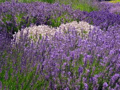 Many Shades Of Lavender