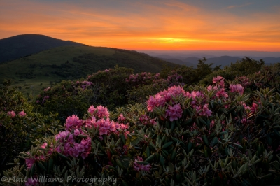 Rhododendron Sunset