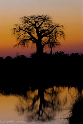 Baobab Reflection At Dawn.