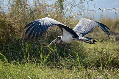 Marabou Stork In Chobe National Park