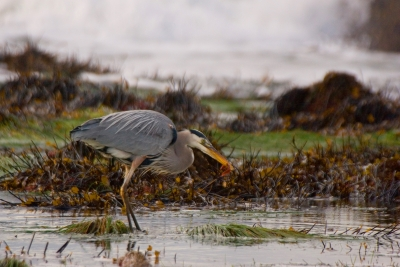 Great Blue Heron_feeding