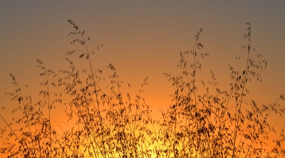 Wild Oats Sunrise