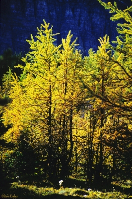 Larch Valley, Autumn