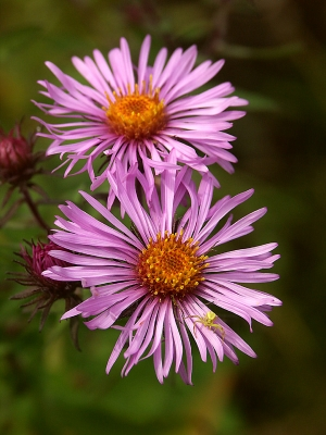 Asters W/spider