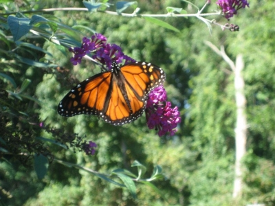 Butterfly Bush Lover