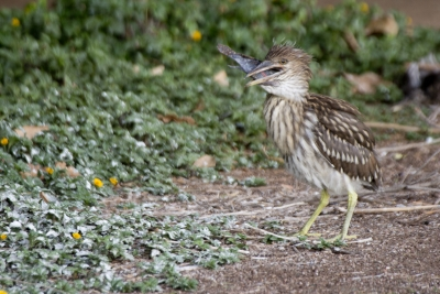 Juvenille Black Crown Night Heron_feeding
