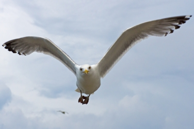 Seagull Coming In