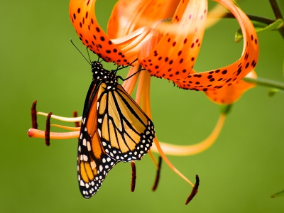 The Monarch And The Tiger Lilly