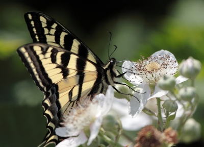 Western Yellow Swallowtail Butterfly