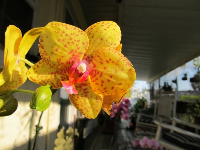 Orchid On The Porch In The Morning Sun