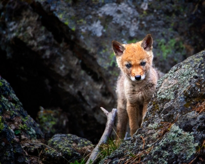 Coyote Pup In Yellowstone