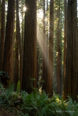 A Walk Among The Giant Redwoods, Redwood National And State Parks, Ca