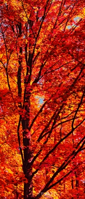 Maple In Red