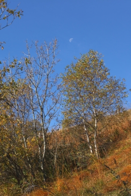 Moon And Birches