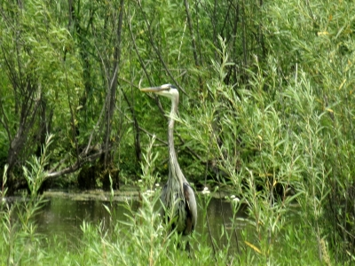 Heron In The Weeds