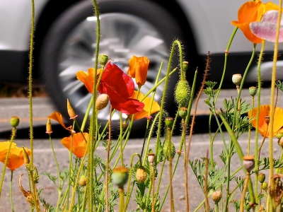 Stop And Smell The…poppies!