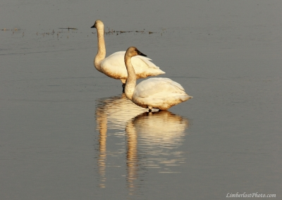 Two Swans Keeping Watch