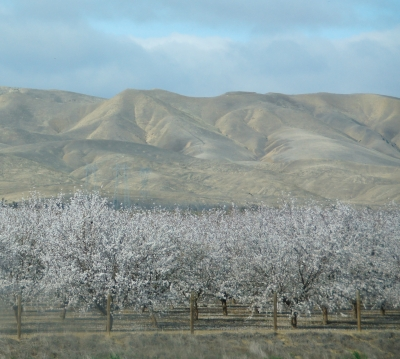 Orchard Along The Ca I-5