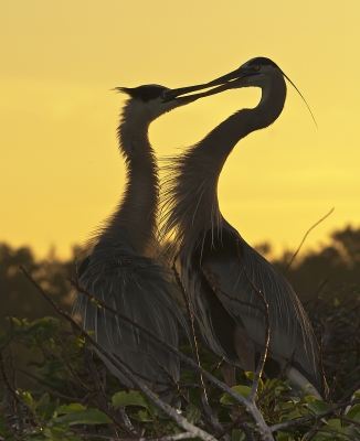 Sunrise Herons