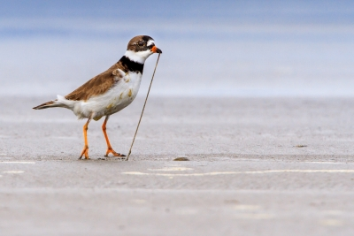 Semipalmated Plover Catching A Sand Worm