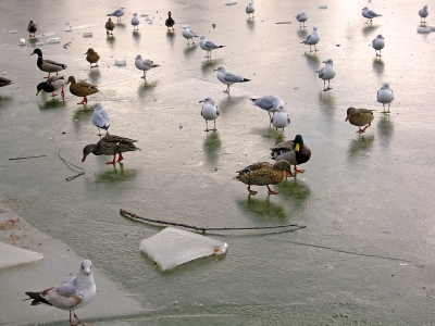 Frozen Dance Floor For Ducks And Gulls