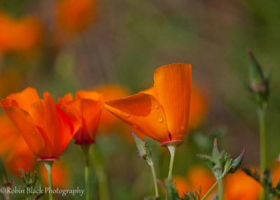 California Poppy With Dew