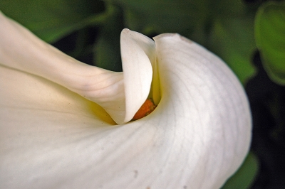 Calla Lilly Opening Up