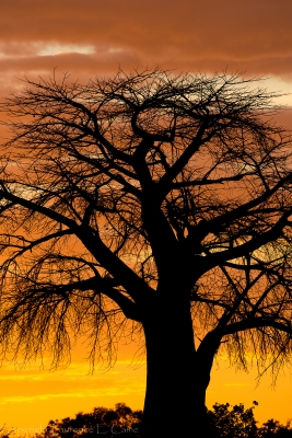 Baobab Tree Silhouette At Dawn