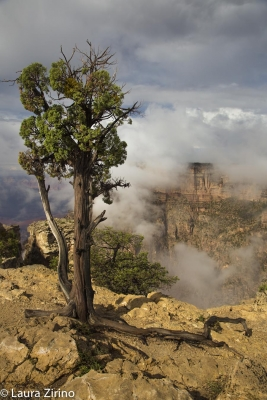 Juniper And Fog, Grand Canyon