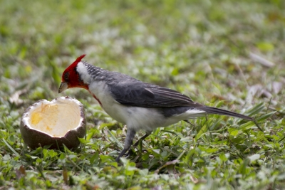Red-crested Cardinal_with Fruit
