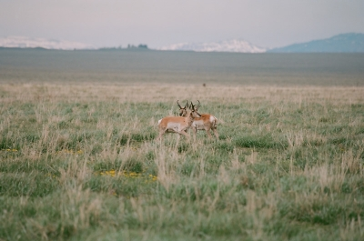 Pronghorn Heart