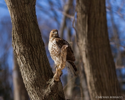 Red-tailed Hawk In Sidelight