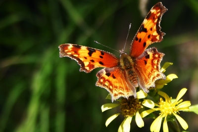 American Painted Lady – Butterfly