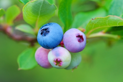 Bluberries Of Different Shades