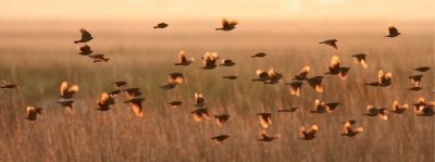 Red-winged Blackbirds Flying Across Salt Marsh At Sunset