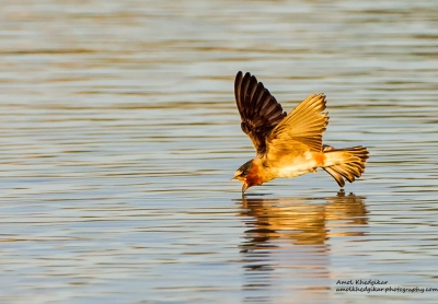 Cliff Swallow Skimming